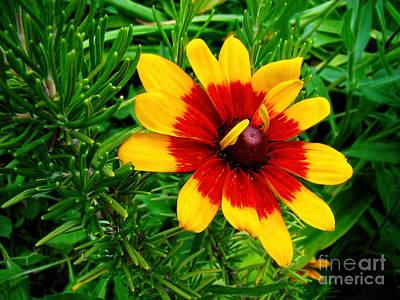 Photograph - Gorgeous Gloriosa by Sue Melvin