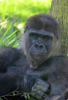 Photograph - Gorgeous Gorilla by Richard Bryce and Family