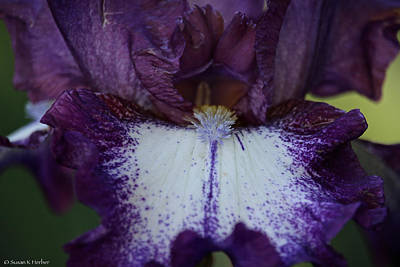 Photograph - Gorgeous Grape Bearded Iris by Susan Herber