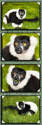 Animals Photos - Gorgeous Lemurs by Svetlana Sewell