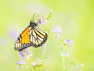 Photograph - Gorgeous Monarch Butterfly by Cheryl Baxter