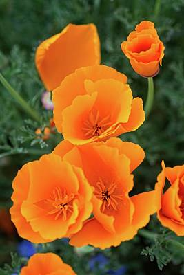 Photograph - Gorgeous Orange California Poppies by Lynn Bauer