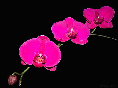 Photograph - Gorgeous Phalaenopsis Orchid Spray by Joyce Dickens