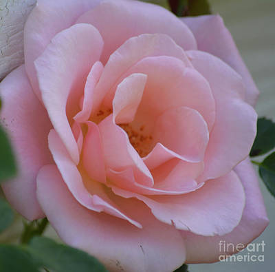 Photograph - Gorgeous Pink Rose by Ruth Housley