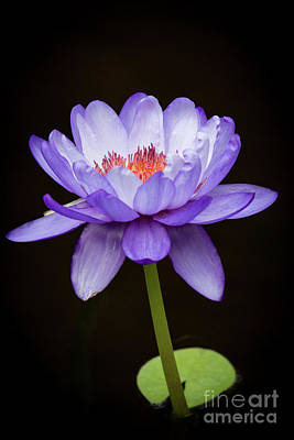Photograph - Gorgeous Purple Water Lily by Sabrina L Ryan