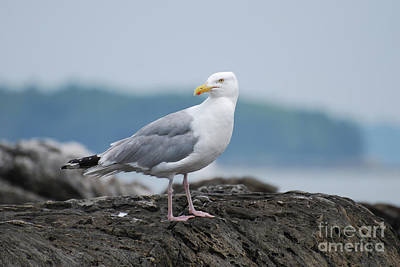 Photograph - Gorgeous Seagull Standing On A Rock Off The Coast by DejaVu Designs