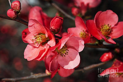 Photograph - Gorgeous Tones Of Flowering Quince by Joy Watson