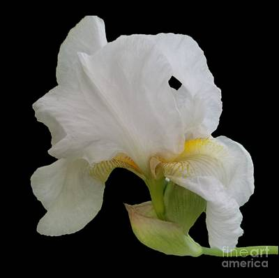 Photograph - Gorgeous White Iris by Rachel Hannah