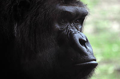 Photograph - Gorilla 1 by Diana Douglass