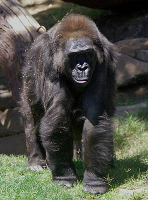 Photograph - Gorilla 1 by Phyllis Spoor