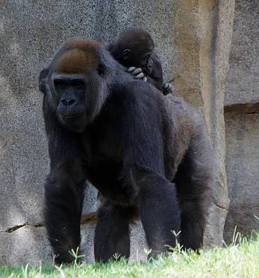 Photograph - Gorilla Baby Carry 1 by Phyllis Spoor