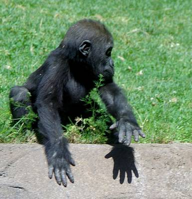 Photograph - Gorilla Baby Mary Joe by Phyllis Spoor