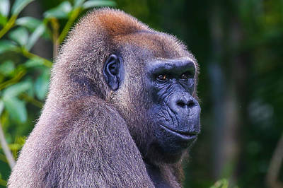 Photograph - Gorilla  by Dart and Suze Humeston