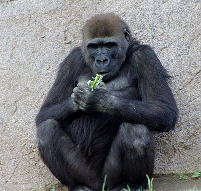 Photograph - Gorilla Eating 1 by Phyllis Spoor