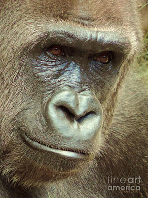 Photograph - Gorilla Eyes by Robert ONeil