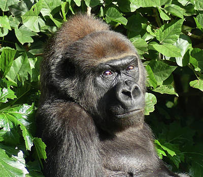 Photograph - Gorilla Gazes by Margaret Saheed