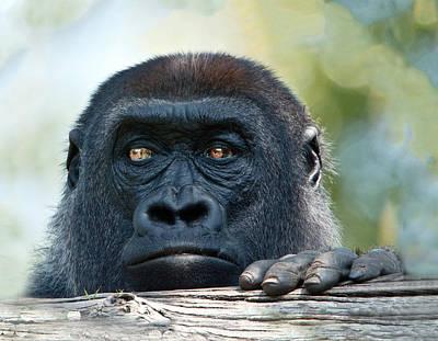Photograph - Gorilla Headshot by William Bitman