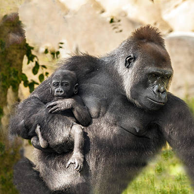 Photograph - Gorilla Holding Her Baby by William Bitman