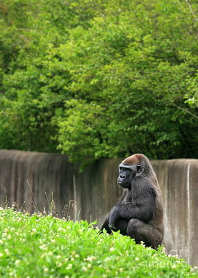 Photograph - Gorilla In Color by Angela Rath
