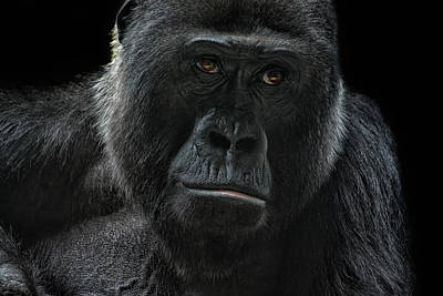 Portraits Royalty-Free and Rights-Managed Images - Gorilla by Joachim G Pinkawa