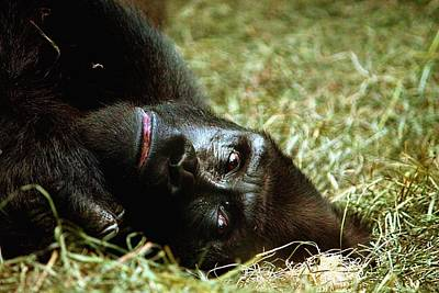 Photograph - Gorilla by Monica Whaley