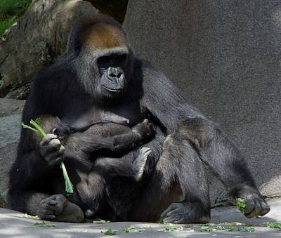 Photograph - Gorilla Mother Baby Contentment by Phyllis Spoor