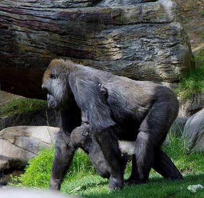 Photograph - Gorilla Mother/baby Nursing 2 by Phyllis Spoor
