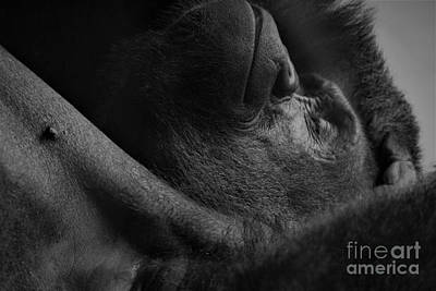 Photograph - Gorilla Napping by Paulette Thomas