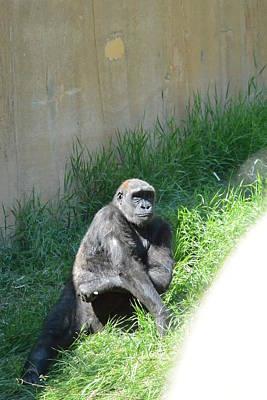 Photograph - Gorilla  by Nicki Bennett