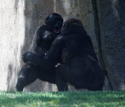 Photograph - Gorilla Play 1 by Phyllis Spoor