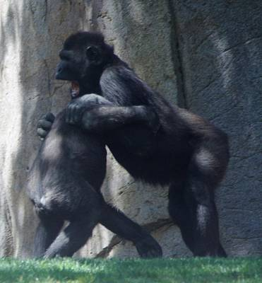 Photograph - Gorilla Play 2 by Phyllis Spoor