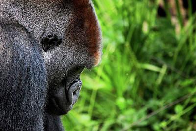 Gorilla Portrait Art Print by Dan Pearce