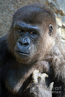Photograph -  Gorilla Portrait  by Savannah Gibbs