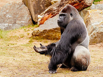 Photograph - Gorilla Sitting Upright Holding His Hand Up by Nick  Biemans