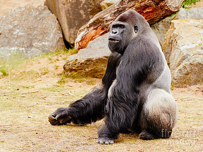 Photograph - Gorilla Sitting Upright by Nick  Biemans