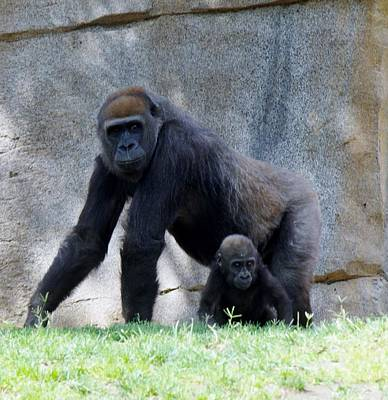 Photograph - Gorilla With Baby by Phyllis Spoor