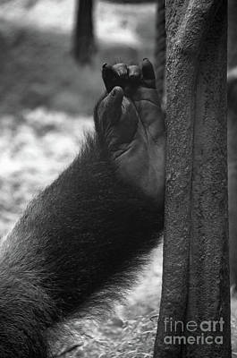 Photograph - Gorilla's Foot by Michelle Meenawong