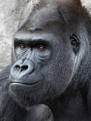 Robert Bellomy Royalty-Free and Rights-Managed Images - Gorillas in the Mist by Robert Bellomy
