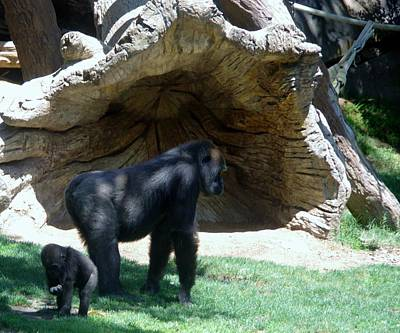 Photograph - Gorillas Mary Joe Baby And Emonty Mother 1 by Phyllis Spoor