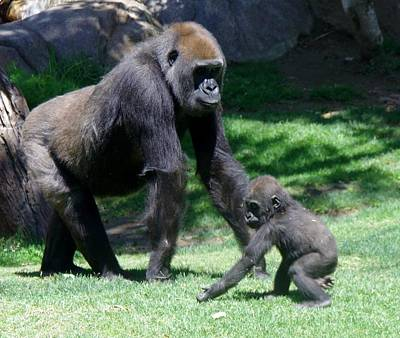 Photograph - Gorillas Mary Joe Baby And Emonty Mother 5 by Phyllis Spoor