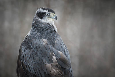 Photograph - Goshawk by Angie Rea