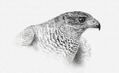 Drawing - Goshawk by Kathie Miller