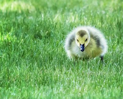 Photograph - Gosling by Belinda Greb