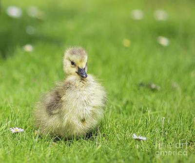 Photograph - Gosling by Eva Lechner