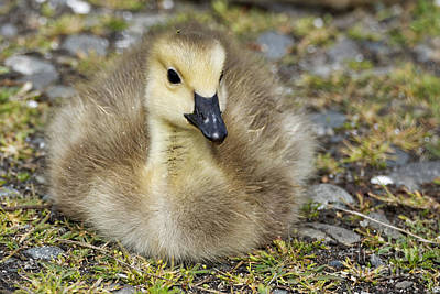 Photograph - Gosling Fuzz by Sue Harper