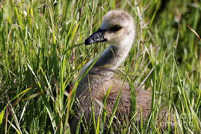 Photograph - Gosling In Camouflage by Sue Harper