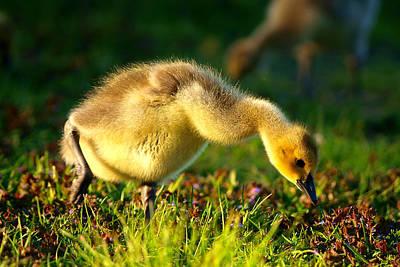 Baby Bird Digital Art - Gosling In Spring by Paul Ge