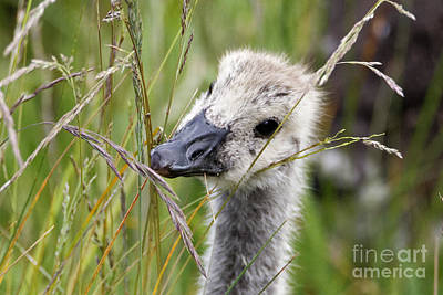 Photograph - Gosling In The Bush by Sue Harper