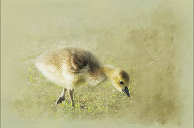 Photograph - Gosling by Marilyn Wilson