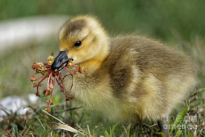 Photograph - Gosling Picking Flowers by Sue Harper